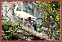 IBIS AND CHICKS-18-Edit