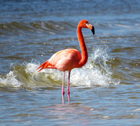 FLAMINGO BUNCHE BEACH