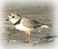 PIPING PLOVER 20170424_Bunche Beach_5540 copy - Copy