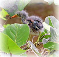 Green Heron chick first steps   Ding Darling 20170604_1566 - Copy