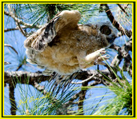 Great Horned Owl branching 3.26.14