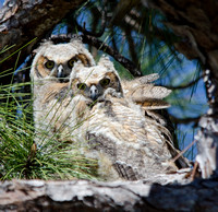 Great Horned Owls Tropicana March 2014-7