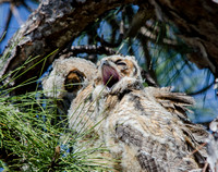 Great Horned Owls Tropicana March 2014-32
