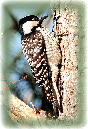 RED-COCKADED WOODPECKER -