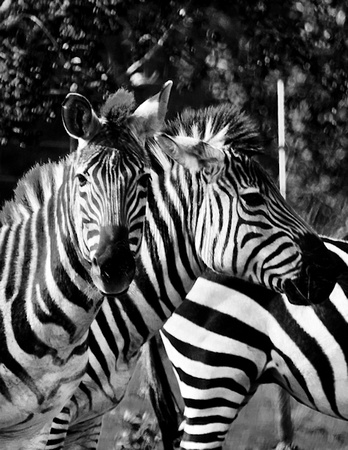 ZEBRAS FOR PRINT TEST 2012-8