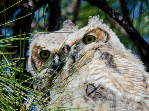 Great Horned Owls Tropicana March 2014-5