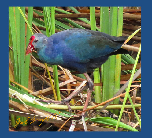 PURPLE SWAMPHEN STA5 (36)