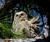 Great Horned Owls Tropicana March 2014-20