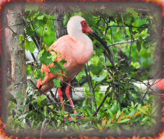IBIS PINKISH OR MORPHED (1)