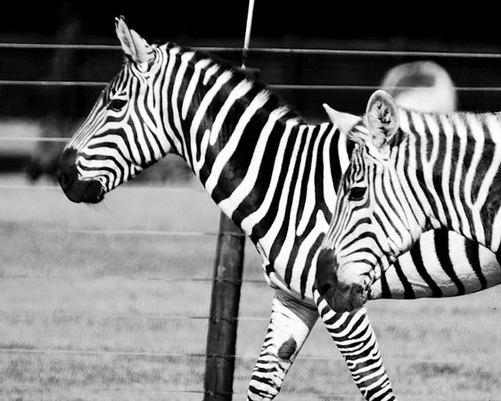 ZEBRAS FOR PRINT TEST 2012-7