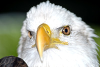 Eagle named Paige resides in Maitland Fl.