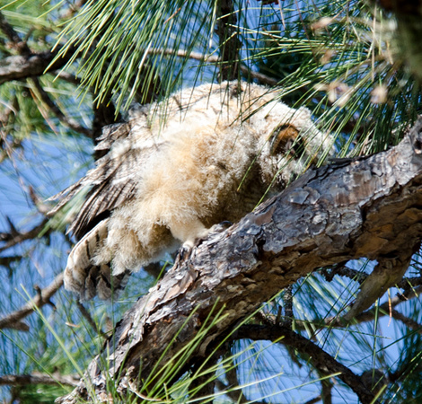 Great Horned Owls Tropicana March 2014-28