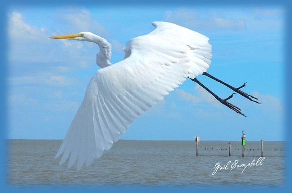 Great Egret 2011 copy