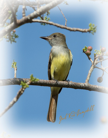 Great Crested Flycatcher FB  20170428_6089-2 copy