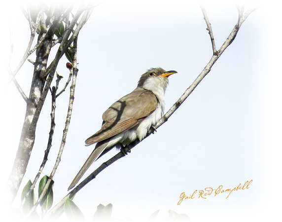 Yellow-billed Cuckoo FB