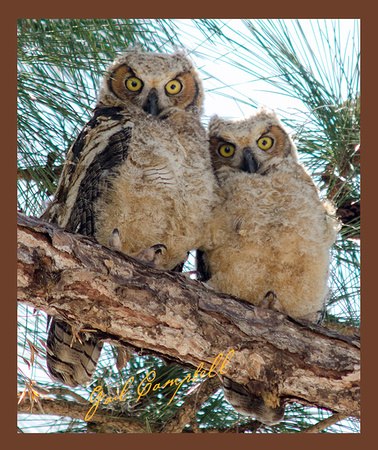 Great Horned Owl Chicks Tropicana D7000  4.03