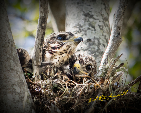 Red-shouldred Hawk Chicks IONA FB  20170514_9271 - Copy