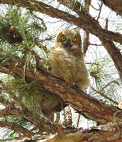 Great Horned Owls Tropicana March 3.30.14 2014